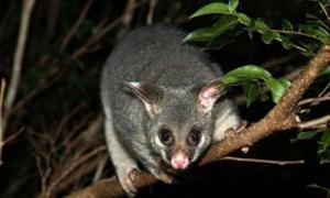Possums Bionet Nz